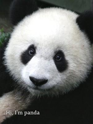 Hi, I'm panda