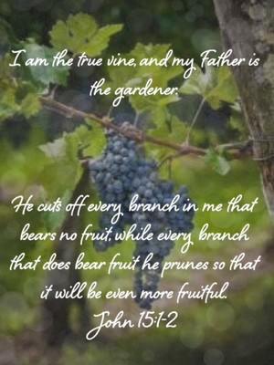 I am the true vine, and my Father is the gardener. He cuts off every branch in me that bears no fruit, while every branch that does bear fruit he prunes so that it will be even more fruitful. John 15:1-2