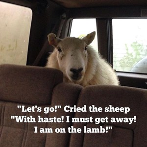 """""""Let's go!"""" Cried the sheep """"With haste! I must get away! I am on the lamb!"""""""